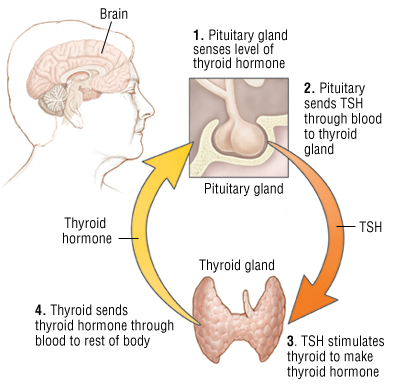 Image: http://www.endocrineweb.com/thyfunction.html